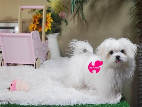 Micro Teacup Maltese pup