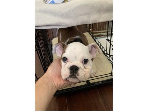 English Bulldog Bulldog Puppy