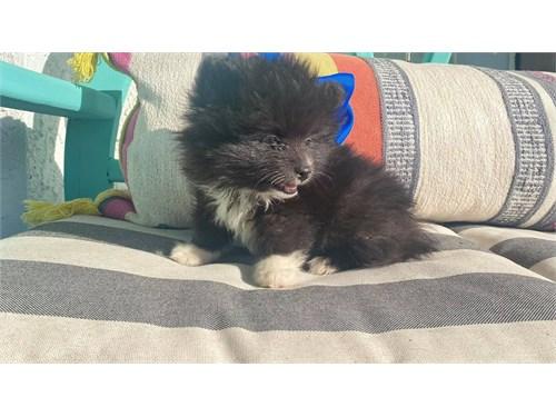 Cute Black Pomeranian