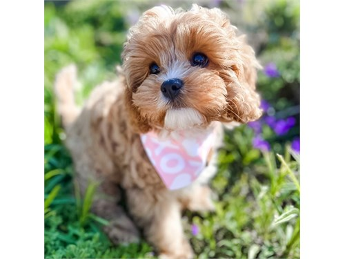 Well Socialized Cavapoo