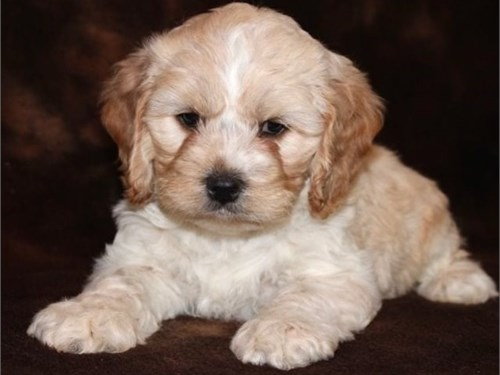Cockapoo Puppies For sal