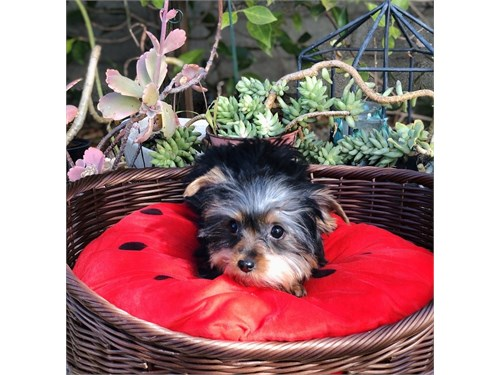 Yorkshire Terrier, Lola