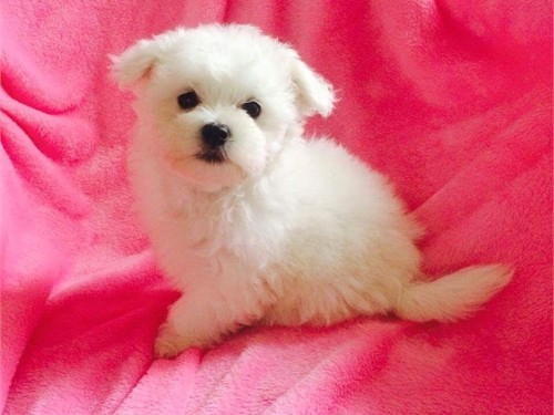Tiny Show Quality Maltese