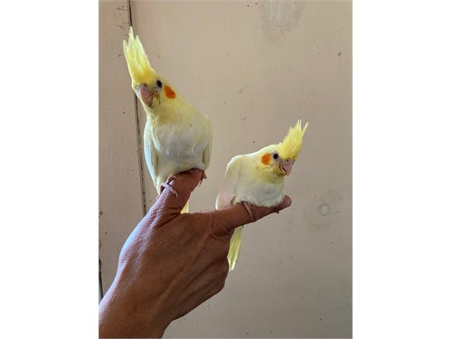 Tamed Lutino Cockatiel