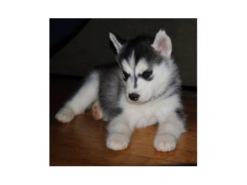 Husky Pups Available