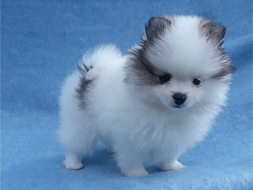 Poodle/Pomeranian Puppies