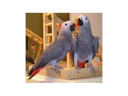grey birds parrots