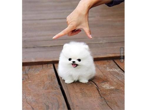 xx Teacup Pomeranians