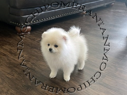 AKC White Male Pomeranian