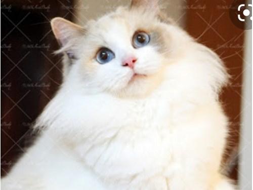 ragdoll female cat 1 year