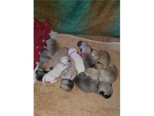 Amazing Pug Puppies