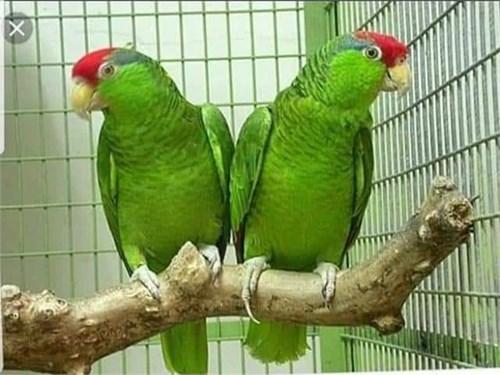 Amazon parrot parrots lor