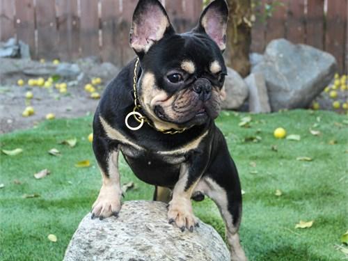 French Bulldog (stud)