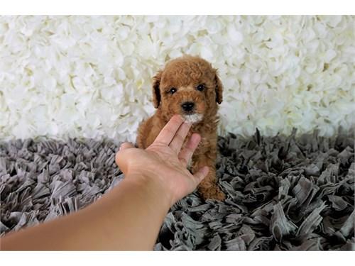 Maltipoo Maltese Poodle