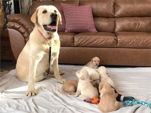 Labrador retrieve pups