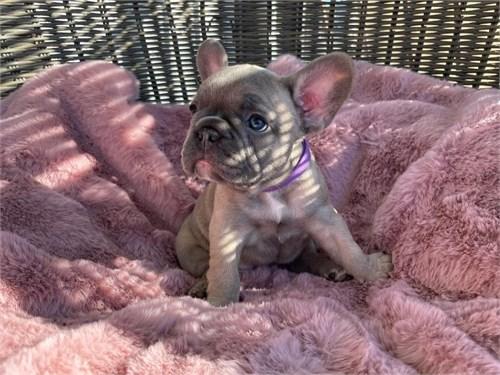 Frenchie Puppies AKC