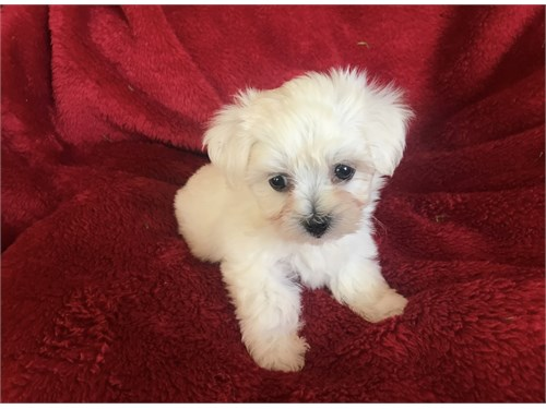Super Cute Maltese