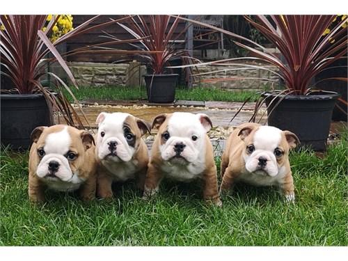 English Bulldog Pups $750