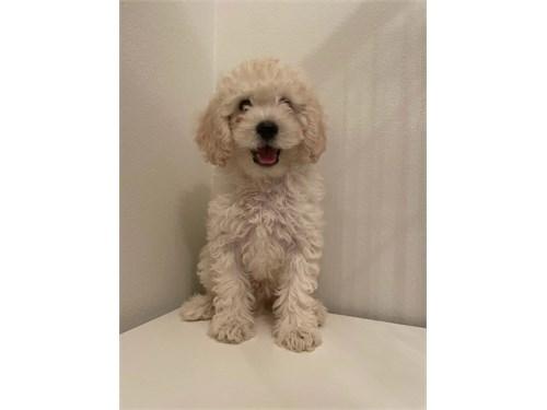 Super Cute Maltipoo Puppy