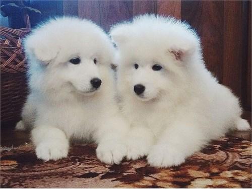 Samoyed puppies
