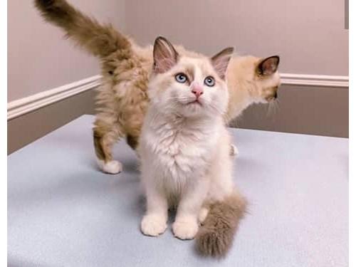 Ragdoll kittens available