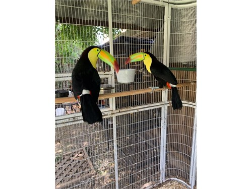 Keel bill toucan pair