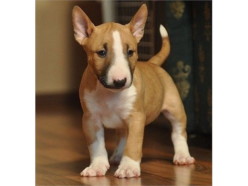 Trained Bull Terrier Pups