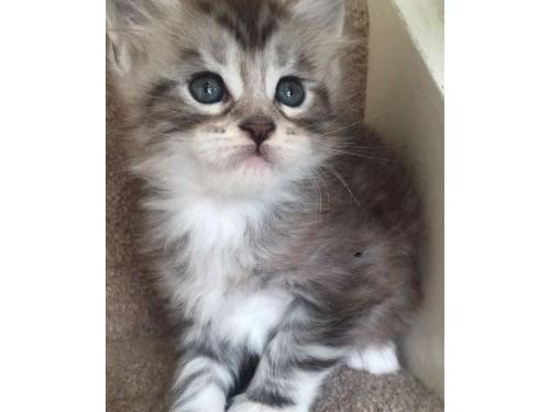 q1zlk Mainecoon kittens