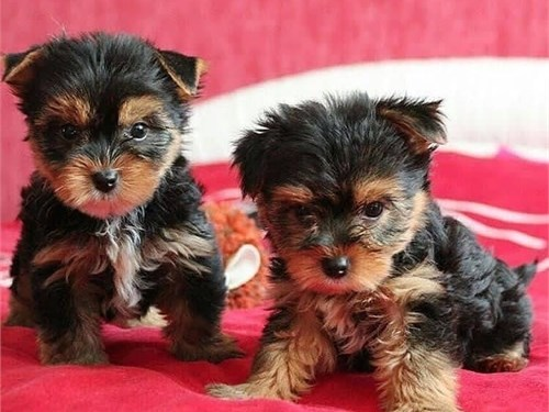 Lovable Yorkie puppies