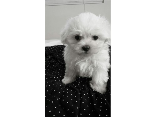 AKC Snow white Maltese p