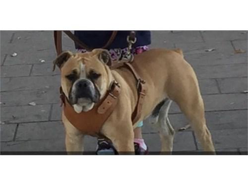 Olde English Bull Dog