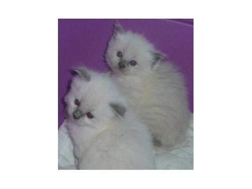 white  ragdoll kittens