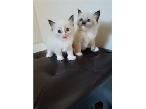 m35a Ragdoll kittens