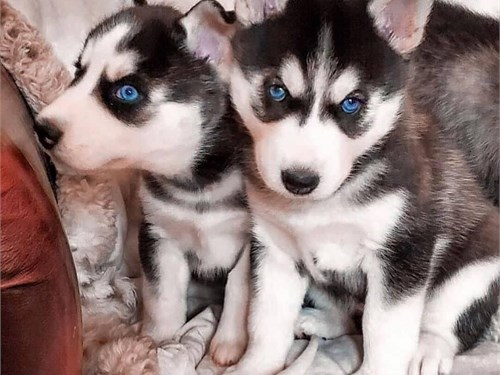 siberi@n hosky puppies
