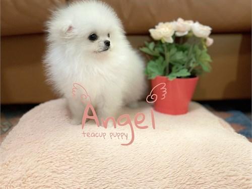 Teacup White Pomeranian
