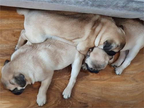 Chunky Pure Pugs