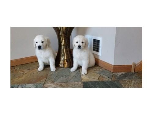 Golden Retriever Pups.
