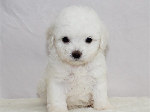 Adorable Maltipoo pups!