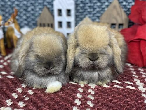 Baby Holland Lop Bunnies