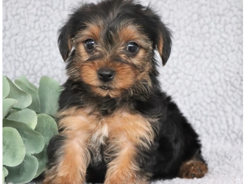 Sharp T-cup Yorkie Pups
