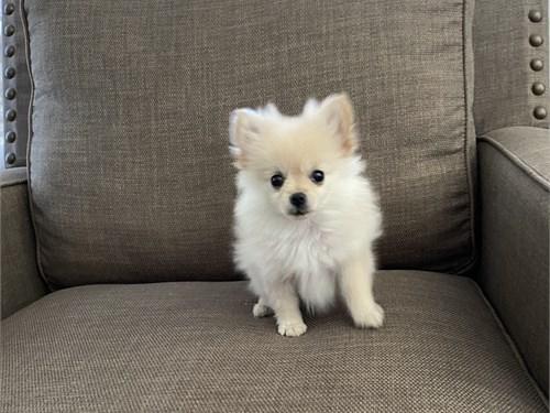 Pomeranian puppy $3200