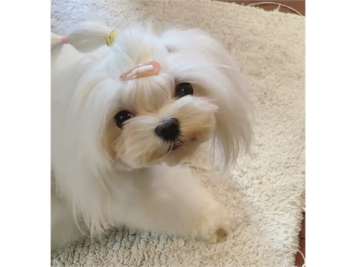 Tcup Female Maltese
