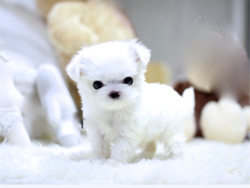 T CUPS MALTESE PUPPIES