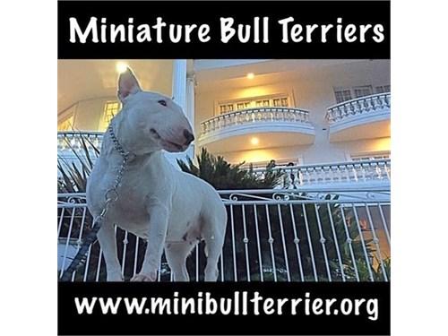 Miniature Bull Terrirers