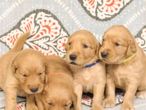 Goden retrever puppies up