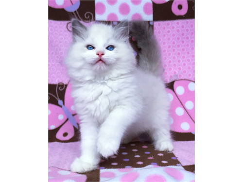 Gorgeous Ragoll Kittens