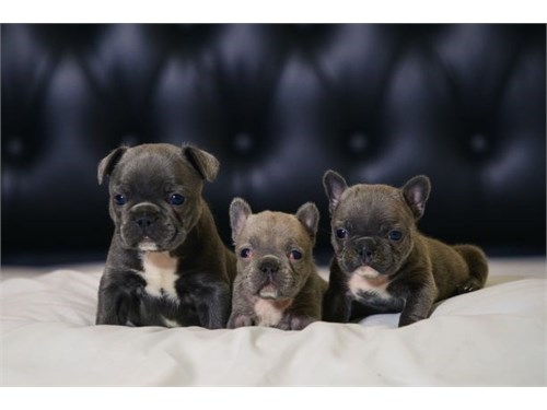 Blue & Lilac Frenchies