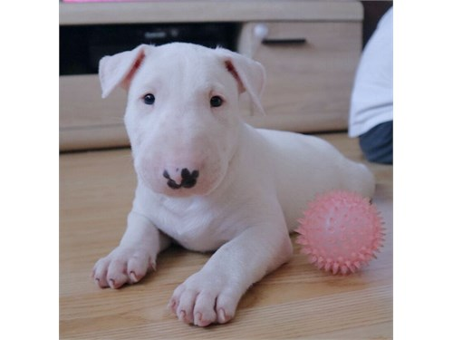 Cute Bull Terrier Pups