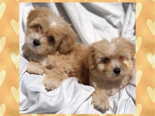 Mini Goldendoodle's