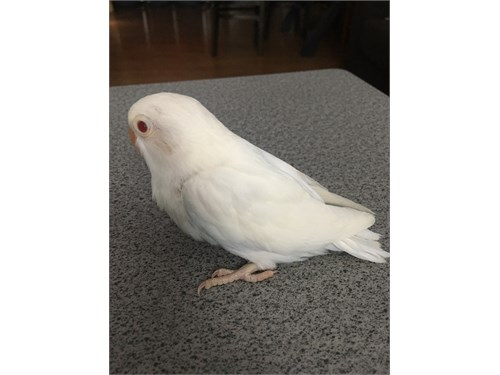 Albino love bird